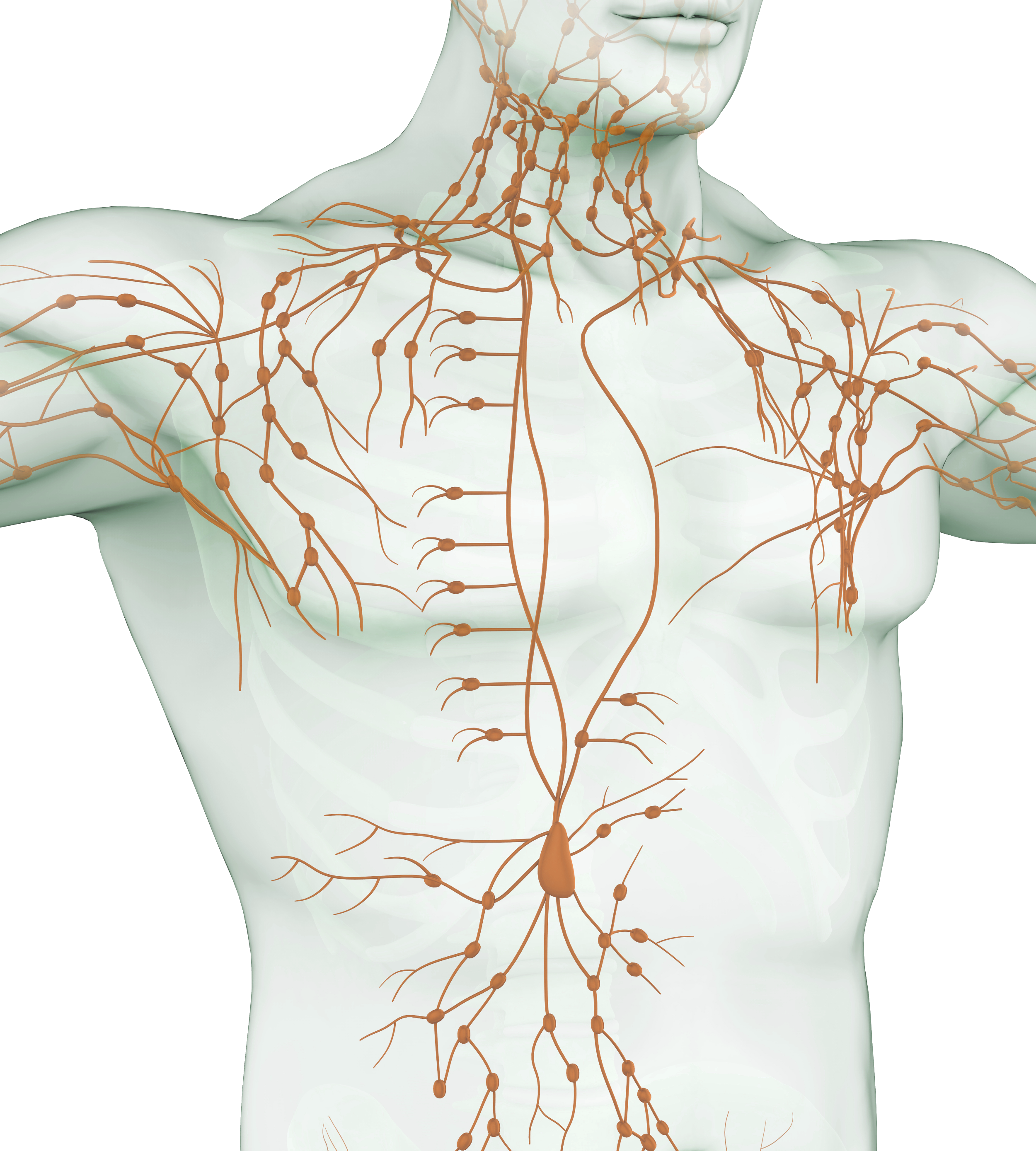 Lymphatic System_Drainage Therapy